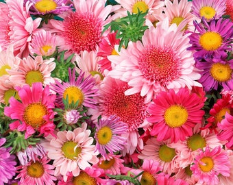 25 mixed Organic Seattle Chrysanthemum Seeds, Perfect for Chrysanthemum Tea or Fragrant Flowers