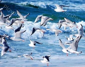 Flock of Bonapartes Gulls // Shorebird Photo // Florida Nature Beach Bird Photograph Print