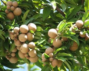 5 Seeds Achras sapota Chico Sapote, Zapote, Chicle sapodilla