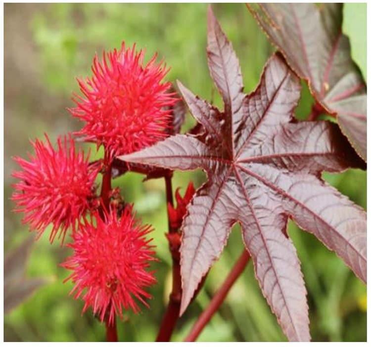 Castor Bean Ricinus Communis Seeds Tropical By
