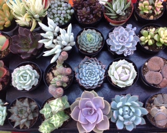 This is a listing of 4 succulents currently growing in  2.5 inch pots. Buyers choice, pick 4 succulents to start your own mini garden.