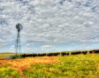 Print of Cattle in Pasture in Nebraska with Windmill  Fine Art Photography and Home Decor
