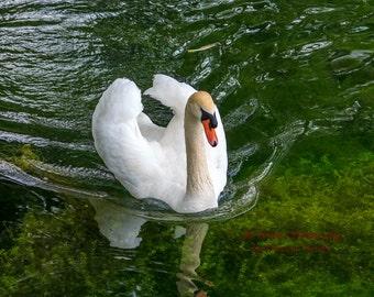 Nature Photography, bird art, bird photography, Swan Photography, 8x10, 13x19, 5x7, 8.5x11, Mute Swan