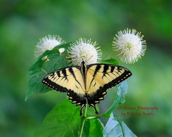 Butterfly Photography, Butterfly art, 8x10, 13x19, 5x7, 8.5x11, Eastern Tiger Swallowtail on Buttonbush