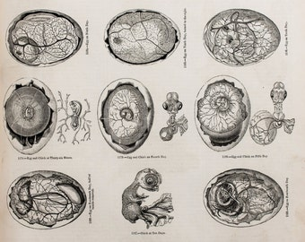 1845 Antique Bird Print or Black and White Engraving - Bird Anatomy, Eggs, Embryos, Growth & Development