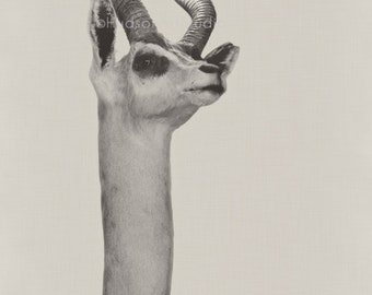 Antelope Fine Art Photography print Nature photo 8x10 print Home decor black and white taxidermy natural history antlers art