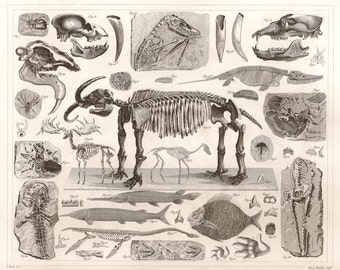 Fossils and Skeletons vintage 1850s engraving reproduction