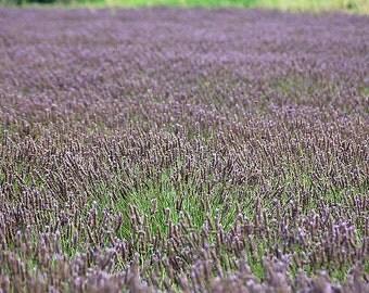 Lavender organic seeds 0.50gr 400 - 450 seeds