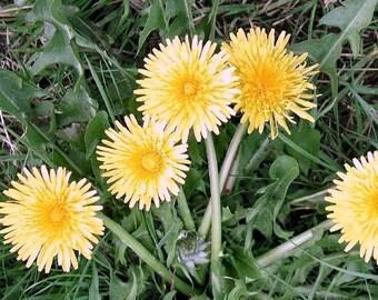Dandelion organic herb seeds 0.30gr 450 - 470seeds