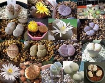 Seeds Lithops species mix (Stone plants)