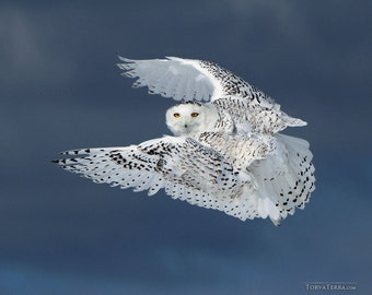 Snowy Owl in Flight Stormy Blue Sky Bird Flying Open Wings Paper Print - Wildlife Photography