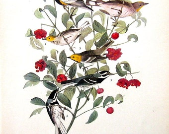 Western Warblers, Glaucous Gull -Audubon Birds 12 x 9 - 1942 Vintage Book Page