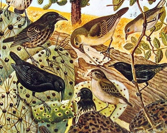 Bird Print - Finches, Grosbeaks, Tanager, Bunting - 1973 Vintage Bird Print - 2 Sided Page from Encyclopedia