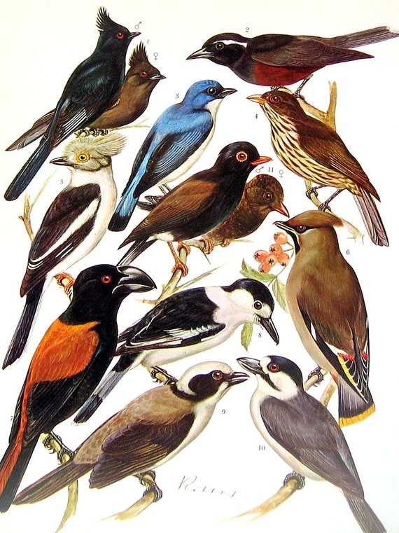 Red Backed Shrike, Magpie Shrike, Puffback, Wood Swallow, Palm Chat, Bohemian Waxwing - Bird Print - 1973 Encyclopedia Book Plate