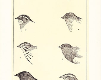 1903 Bird Print - Sparrows - Vintage Antique Home Decor Book Plate Art Illustration for Framing 100 Years Old