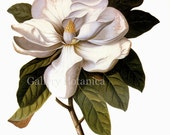 Digital Instant Download of Magnolia