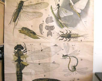 sale RARE dragonfly scientific chart Leuckart science classroom zoology biology biological vintage