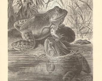 1892 American Bullfrog, Rana Catesbeiana Original Antique Engraving to Frame