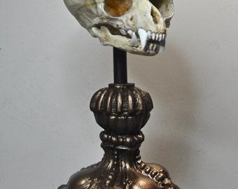 Fetal Werewolf Skull Display
