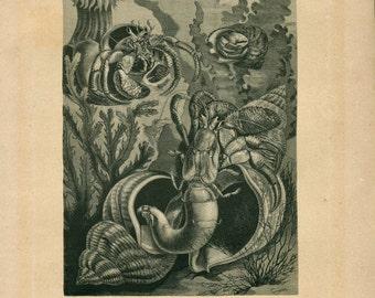 1883 Marine Life Antique Print, Victorian Era Engraving, Brehm