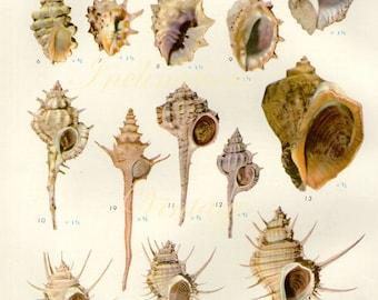 1958 SHELLS, antique vintage bookplate chart, original shells print 23 24