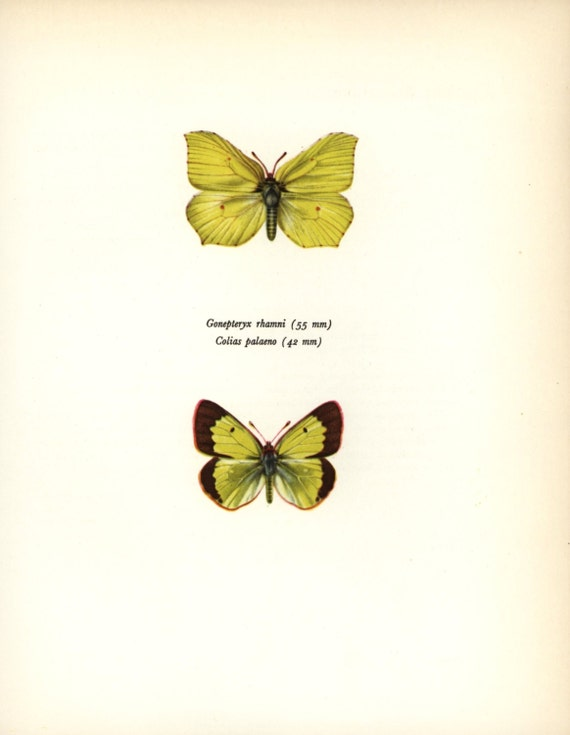 Vintage Butterfly Print  Yellow Brimstone  1960s Butterfly Artist    Vintage Butterfly Print