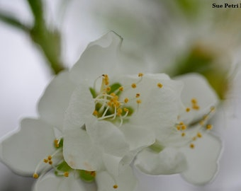 Spring in Bloom, Blooming this spring, Spring Blossoms, White Decor, Romantic Decor, Cottage Chic, Garden Decor, Garden Art, Nature Photos