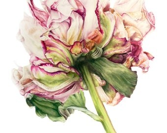 Peony  - fine art - archival botanical print, 11 x 8 inches, watercolor print