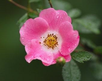 Botanical Photograph, Rose Wall Art, Pink Rose Photograph, Rain Drops on Flower, Pink and Green Decor, Flower Print, Feminine Print, Bedroom
