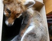 Custom Made Fox Soft Mount - Real Skin Pelt - Sculpture Taxidermy Fox - Wolf family - Animal - SEE DECRIPTION