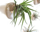 Airpockets - handmade wall vases for air plants - set of four