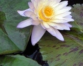 Waterlily Flower Photography - Botanical Fine Art Print - Floral / Lilypad