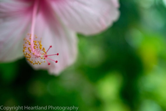 Pink Hibiscus, Flower Photography, Pretty Prints, Pink and Green, Romantic Image, Nature Photograph, Macro Picture, Fine Art Photo, Tropical