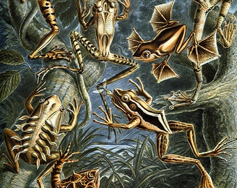 Frogs illustration download, nature art by Ernst Haeckel, instant download lithograph, high resolution (300dpi) -- item no 33