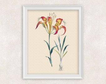 Pine Lily Botanical Print - 8x10 PRINT - Florida Wildflower - Red & Yellow Flower Art - Home Decor - Botanical Art Print -  Item #145