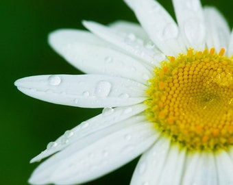 White Daisy Flower With Rain/Dew Drops Print Fine Art Photos Mother Nature Pictures Spring Blooms Natural Light Blossoms Beautiful Love