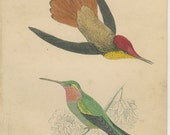 1856, Rare Humming Bird Book Plate 4, Ruby-crested, Northern, Hand Coloured, Antique Frameable Art, Adams