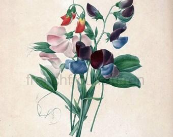 antique french botanical print sweet pea flowers illustration DIGITAL DOWNLOAD