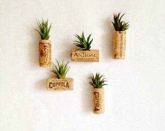5 air plant cork magnets Living decor- magnetsTiandsia air plant or succulent// unique gift