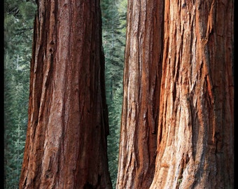 Tree Photo | Yosemite Sequoia Photo | Mariposa Grove | Woodland art | Yosemite National Park | Giant Sequoia | Yosemite Print |Big Tree Art
