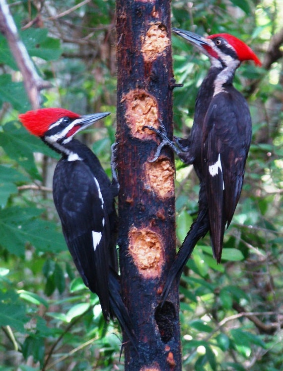 ultimate real wood large woodpecker feeder suet feeder