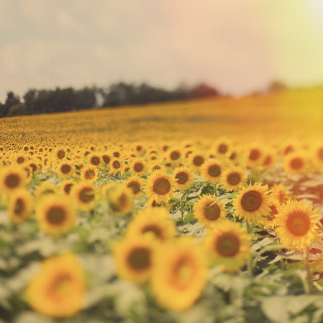Photography Yellow Sunflower Field Gallery32 etsy