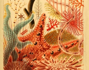 vintage ocean print, star fishes and echinoderms from the great barrier reef, Australia, vintage printable digital image no. 1769