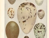 Eggs of American Birds Vintage Color Book Plate 1  / Birds Of America 1936 / Louis Agassiz Fuertes / Vintage Bird Eggs