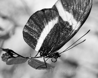 Butterfly photos. black and white home decor, Nursery Wall Art, Insect wing print butterflies photography Nature Photos 5x7, 8x10, Matted
