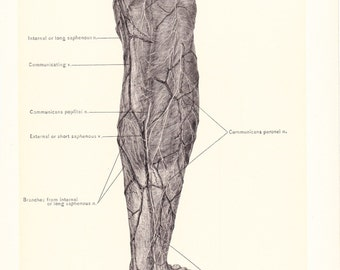 1899 Human Anatomy Print - Vessels and Nerves of Leg - Vintage Antique Medical Anatomy Art Illustration for Doctor Hospital Office