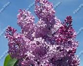 Bursting Fragrant Lilacs  Floral Fine Art Photography Photo Print