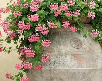 Large Art, Italian Decor, Pink Flower Photography, Geranium Print, Spring Flowers Wall Art, Italy Photography, Pink Flowers, Large Pink Art