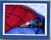 Photo of Doberman dog with Spiderman colors, dog sleeping, napping with blanket, red and blue