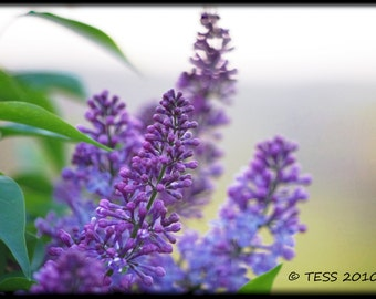 Lilacs Photography Print - Spring Flower Photography - Nature - Botanical -  Spring Blossoms Photo